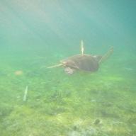 Bye bye, Hawksbill Sea Turtle, Derawan Island