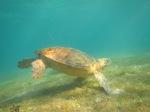 Hawksbill Sea Turtle, DerawanIsland