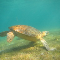 Hawksbill Sea Turtle, Derawan Island