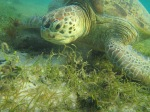 Hawksbill Sea Turtle,DerawanIsland