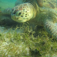 Hawksbill Sea Turtle,Derawan Island