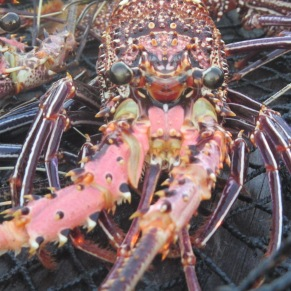 Lobster, Live Fish Trade, Derwan Island