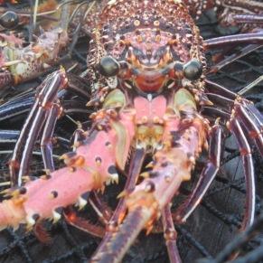 Lobster, Live Fish Trade, Derwan Island
