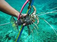 Sama Dilaut Lobster catch, Topa, Sulawesi, 2017