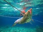 Sama Dilaut Fisherman With Barracuda Catch, Sampela,Indonesia